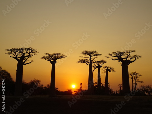 Baobab trees at sunset at the avenue of the baobabs in Morondava (Madagascar) Fotobehang
