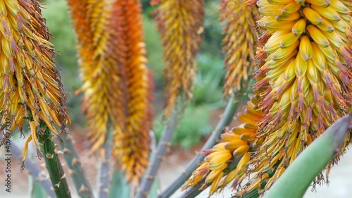 Foto Aloe succulent plant yellow flower, California USA