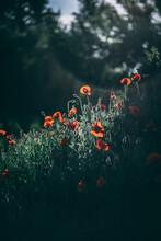 Vertical Shot Of A Red Poppy Field