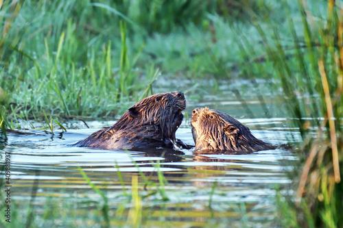 Couple de castors d'Europe, castors communs, castors d'Euransie, (Castor fiber) Ardennes. Belgique © brimeux