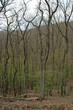 canvas print picture - Erstes zartes Gruen im Fruehjahr an Laubbaeumen im Wald