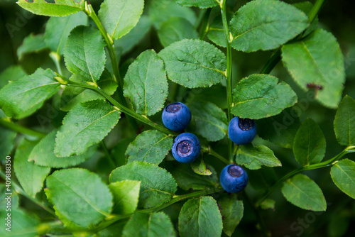 Wild blueberry in the mountains Poster Mural XXL
