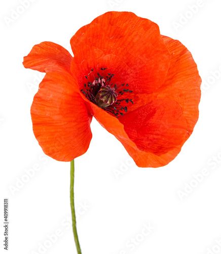 Fototapeta Red poppy flower isolated on a white background. View of another flower in the portoflio. obraz na płótnie