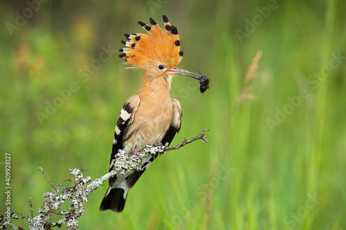 Fotografia Eurasian hoopoe, upupa epops, looking on bush in springtime nature