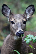 Deer Feeds On Shrub With Blurry Background