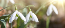 Close Up Of Snowdrop Flowers Under Sunlight - Spring Time Flowers