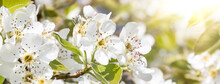 Close Up Of Cherry Flowers Under Sunlight - Spring Time Flowers