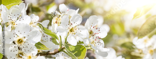 close up of cherry flowers under sunlight - spring time flowers Fototapet