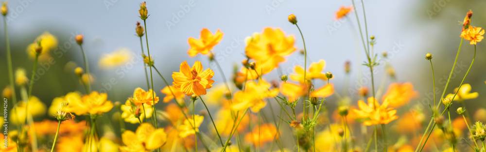 Fototapeta Closeup of yellow Cosmos flower on blurred green leaf background under sunlight with copy space using as background natural flora landscape, ecology cover page concept.
