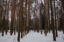 Trunks Of Fir Trees In The Winter Snowy Forest