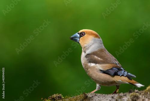 Obraz na plátne Hawfinch sitting on the branch.