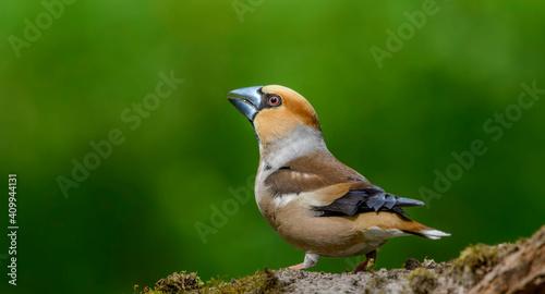 Fotografia, Obraz Hawfinch sitting on the branch.