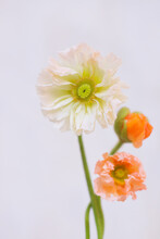 Opened White Yellow Iceland Poppy Blossom Isolated On Grey Background. Several Beautiful Poppies.