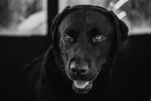 Black And White Labrador Retriever Dog Sitting Calmly On Street And Looking Away