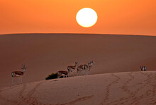 "Arabian Sand Gazelles, Known As ""reem,"" Roam Near Telal Resort On The Outskirts Of The City Of Al-Ain In The Far East Of The Gulf Emirate Of Abu Dhabi, Jan. 26, 2021."