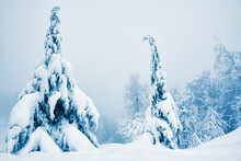Snow-covered Trees In Winter Forest In Misty Day. Beautiful Winter Landscape.