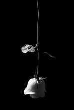 Black And White Of Gentle Blossoming Rose Flower Face Down On Dark Background In Studio