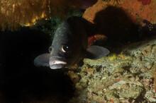 Closeup Of A Beautiful Oscar Fish In The Saltwater