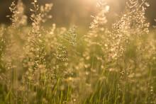 Wild Grass In Bloom In Warm Sunset Light