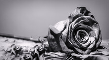 Close Up Macro Shot. Red Rose Flower. Roses In Flower Shop. Bright Red Rose For Valentine Day. Black And White