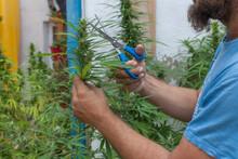 A Man Cutting Marijuana Plants With Blue Scissors