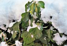Ivy In The Garden In Winter