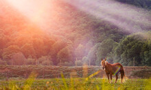 Side View Of Horse Eating Grass And Grazing In Lush Grassland In Highland Area At Sunrise