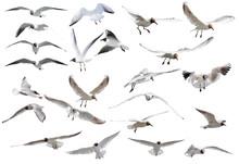 Twenty Three Flying Black-headed Gulls On White
