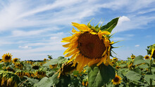 Agricultural Sunflower Field In Ukraine. Bright Yellow Sunflower In Wind And Drooping Sunflowers On Background. Helianthus Annuus Flower Closeup With Blue Sky And White Clouds