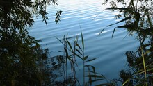 Defocus Cattail Stalks On Foreground And Tree Branches Over Rippled Blue Water Surface. Plants Growing By River And Willow Tree Foliage With Wavy Blurry Water Background
