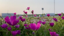 Field Of Texas Winecup Or Purple Poppy Mallow