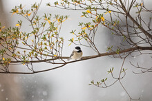 Carolina Chickadee Bird Perched On A Branch During A Winter Snowstorm
