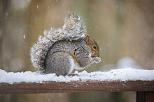 Hungry Squirrel Eating Bird Seed On A Deck Railing During A Winter Snowstorm