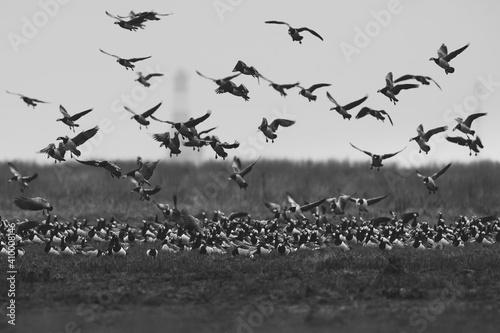 Obraz na płótnie Grayscale shot of a beautiful flock of flying birds over the field
