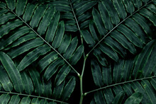 Dark Green Leaves In A Tropical Forest. Texture Leaf Abstract Natural Background,