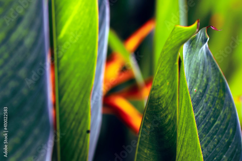 Obraz na płótnie Tropical rainforest exotic Heliconia plant in the sunlight also known as lobster claws, toucan beak, wild plantain