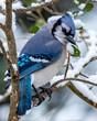 Blue Jay bird in the snow
