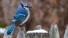 Blue Jay Bird In The Snow