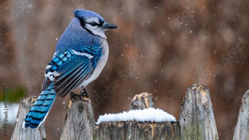 Fotografie, Obraz Blue Jay bird in the snow