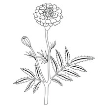 Isolated Vector Illustration. Branch Of Marigold Flower. (Tagétes). Black And White Linear Silhouette.