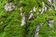 Background Texture Of Fresh Green Mosses Covered Tree Trunk With Rough Surface And Cracks