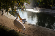 Pelicans Rest Next To A Pond In The Park, In The Zoo In The Warm Season. Lots Of Green Foliage.