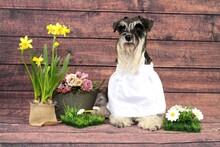 Dog With Flowers Spring Miniature Schnauzer