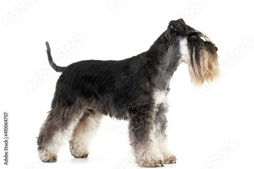 miniature schnauzer isolated on white background studio