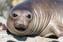 The Elephant Seal (Mirounga Leonina)