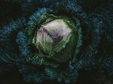 High Angle View Of Cabbage