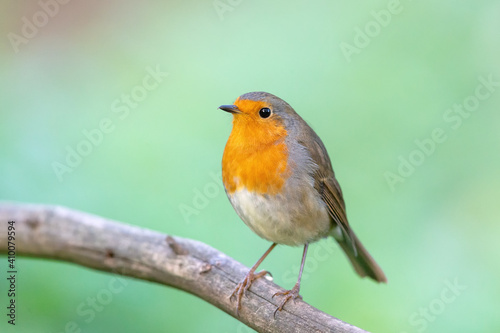 European robin (Erithacus rubecula) in autumn. © DirkR