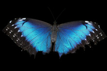 Blue Morpho Butterfly Isolated On Black Background