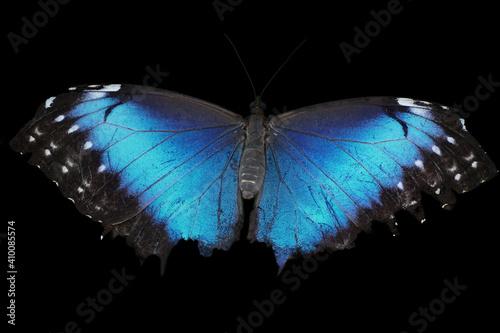 Obraz na plátne Blue morpho butterfly isolated on black background