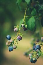 Blueberrys On The Branch